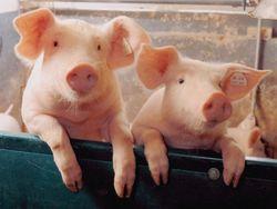 Бизнес стал зарабатывать на санкциях и свинине из Бразилии