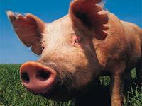 Трейдерам: рынок свинины США показывает рост