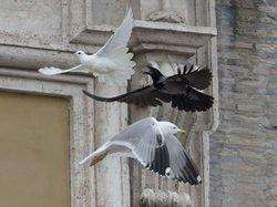 Голубя мира атакуют ворон и чайка