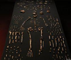 Скелет Homo naledi