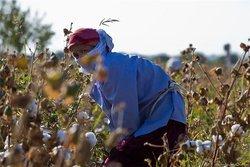 """СМИ Узбекистана восхищены юными """"добровольцами"""", собирающими хлопок в холод"""