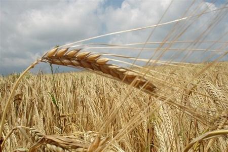 По итогам августа Россия может экспортировать 3,5-3,6 млн. тонн зерна