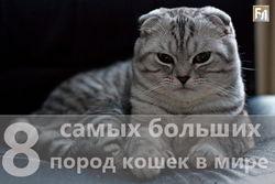 Названы 8 самых больших кошек в мире