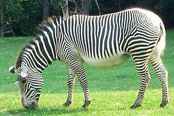 Зачем зебре полосы? Ученые изменили свое мнение