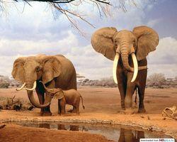 Крыму на заметку: Зимбабве распродает слонов из заповедников