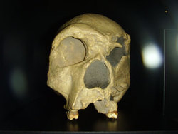 Расшифрован геном гейдельбергского человека