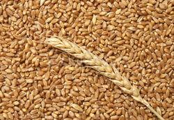 В России для выпечки хлеба используют пшеницу, предназначенную на корм скоту