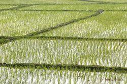 В Крыму из-за нехватки воды для полива погибли посевы риса