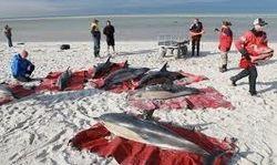 Туристам: вирус убивает дельфинов в США, «выбрасывая» их на берег