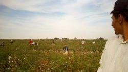 Cotton Campaign: «Правительство Узбекистана должно запретить принудительный труд!»