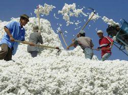 Студенты устроили поножовщину на уборке хлопка в Узбекистане