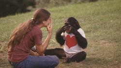 Ученым из Великобритании удалось разгадать язык жестов шимпанзе