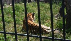 В Воронеже при перевозке сбежал тигр