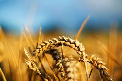 Цены на рынке пшеницы находятся в нисходящем флете - трейдеры