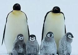 Если вы думаете, что пингвины милые и забавные птички, то сильно заблуждаетесь
