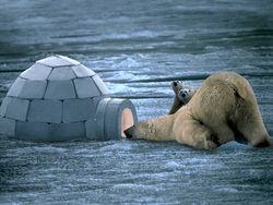 На Чукотке полсотни белых медведей осадили село, но стрелять в них нельзя