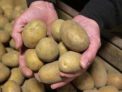 Россельхознадзор ограничил ввоз картофеля из Украины