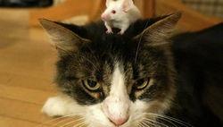 Любителям кошек: Токсоплазмоз негативно влияет на работу мозга – ученые