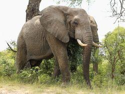 Слон из парка Крюгера
