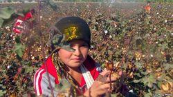 В Джизаке Узбекистана старшеклассники вышли собирать хлопок