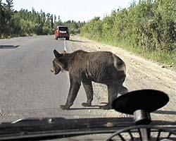 Сбитый машиной медведь, пролетев сквозь внедорожник, убил двух человек
