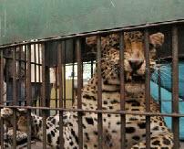 Дикий леопард напал на людей в центре индийского города