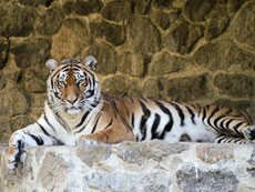 Тигр изувечил работника зоопарка Киева
