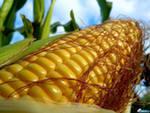 Инвесторам: цены на кукурузу в глубокой коррекции