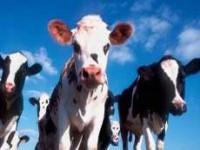 Почему в Кыргызстане начался падеж скота?