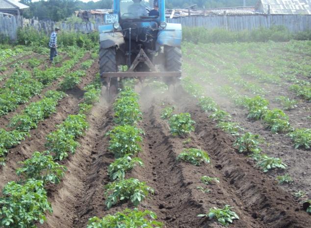 Выращивание картофеля в промышленных масштабах бизнес 83
