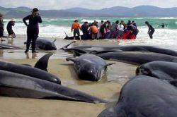 Почему дельфины выбрасываются на берег Черного моря?