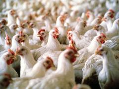 мяса,птицы,США