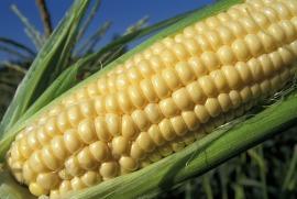 Станет ли Россия главным потребителем ГМО-продукции?