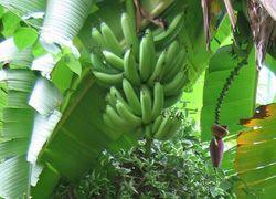 Почему британцы панически стали бояться... бананов?