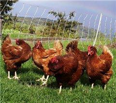 Птичий грипп больше курам не опасен?