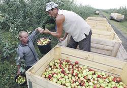 «Импортозамещенные» российские яблоки почти вдвое дороже бананов