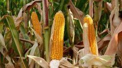 Россельхознадзор может запретить ввоз кукурузы из Украины