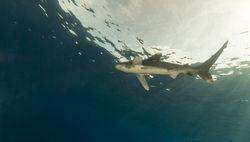 Ихтиологи поняли, почему в этом году акулы активно на людей возле Гавайев