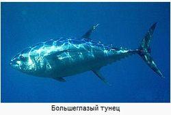 В Японии 230-килограммовый голубой тунец продан за 7,4 миллиона иен