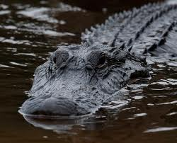 аллигатор Вася