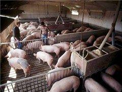 Через 2 года Украина перестанет покупать свинину?