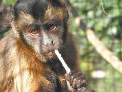 Планета обезьян бориспольского масштаба: капуцины захватили самолет в Киеве