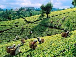 Названы 10 самых известных брендов чая у россиян