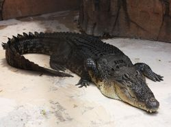 В Екатеринбурге сбежавший из цирка крокодил нырнул в местную речку