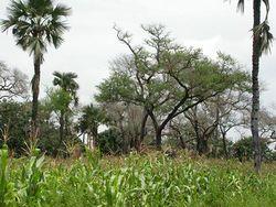 Азотфиксирующие деревья замедляют потепление климата – исследование