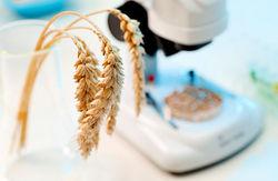 Дорогу в ЕС Украине может преградить продукция ГМО