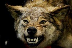 Волки лютуют уже в пригородах Симферополя