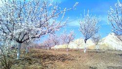 В Узбекистане высыхают сады из-за недостатка воды и произвола чиновников