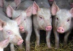 Трейдеры ожидают снижения цен свинины на бирже в начале октября