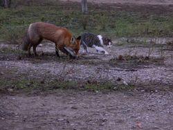 В национальном парке Хортица подружились кот и лисенок - что удивило